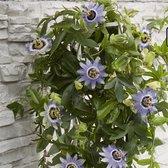 2x Passiflora 'Caerulea Duuk' - Passiebloem blauw - Set van 2 - ↑ 65-75cm - Ø 14cm