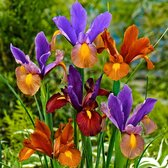 30x Iris hollandica 'Tiger' - Mix Hollandse Irissen - Gemengde kleuren - 30 bloembollen Ø 6-7cm