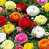 50x Ranunculus asiaticus - Ranonkels dubbelbloemig - Gemengde kleuren -  Bloeiende vaste planten | 15 bloembollen Ø 4-5 cm