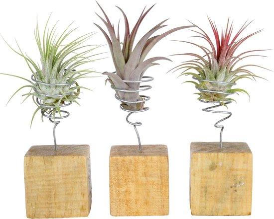 Set Van 3 Tillandsia - In Rood, Groen & Grijs - Op Houtblokken - ↑ 12-14cm - Ø 6cm