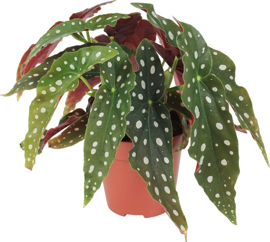Set van 2 begonia maculata | Bladbegonia | Stippenplant ↑ 20-25cm - Ø 12cm
