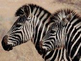 MyHobby Borduurpakket – Zebra's 40×30 cm - Aida stof 5,5 kruisjes/cm (14 count)