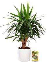 Pokon® Yucca / Palmlelie incl. watermeter en voeding - in Mica Era Pot Wit - hoogte ↕100 cm