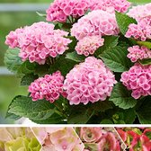 Hydrangea Magical 'Revolution Pink' - Hortensia roze - ↑ 15-20cm - Ø 12cm