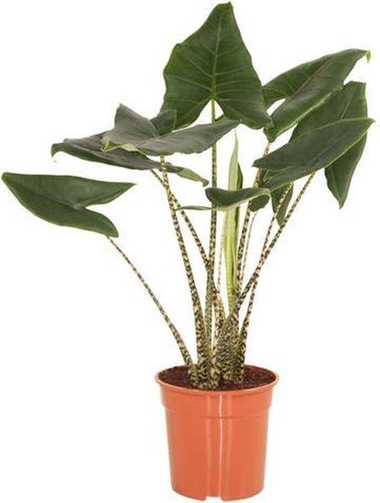 Kamerplant van Hellogreen - Alocasia Zebrina - Olifantenoor - Hoogte: 100cm