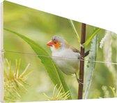 Oranjekaakje op hout - 30x20 - Een jong oranjekaakje hangt aan een stengel Vurenhout met planken - foto/schilderij op hout