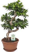 Bonsai van Hellogreen - Ficus Gin Seng Bonsai - ↕ 70cm