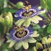 4 x Passiflora caerulea - Passiebloem in C2.5 liter pot met hoogte 50-60cm (stuksprijs €16,99)