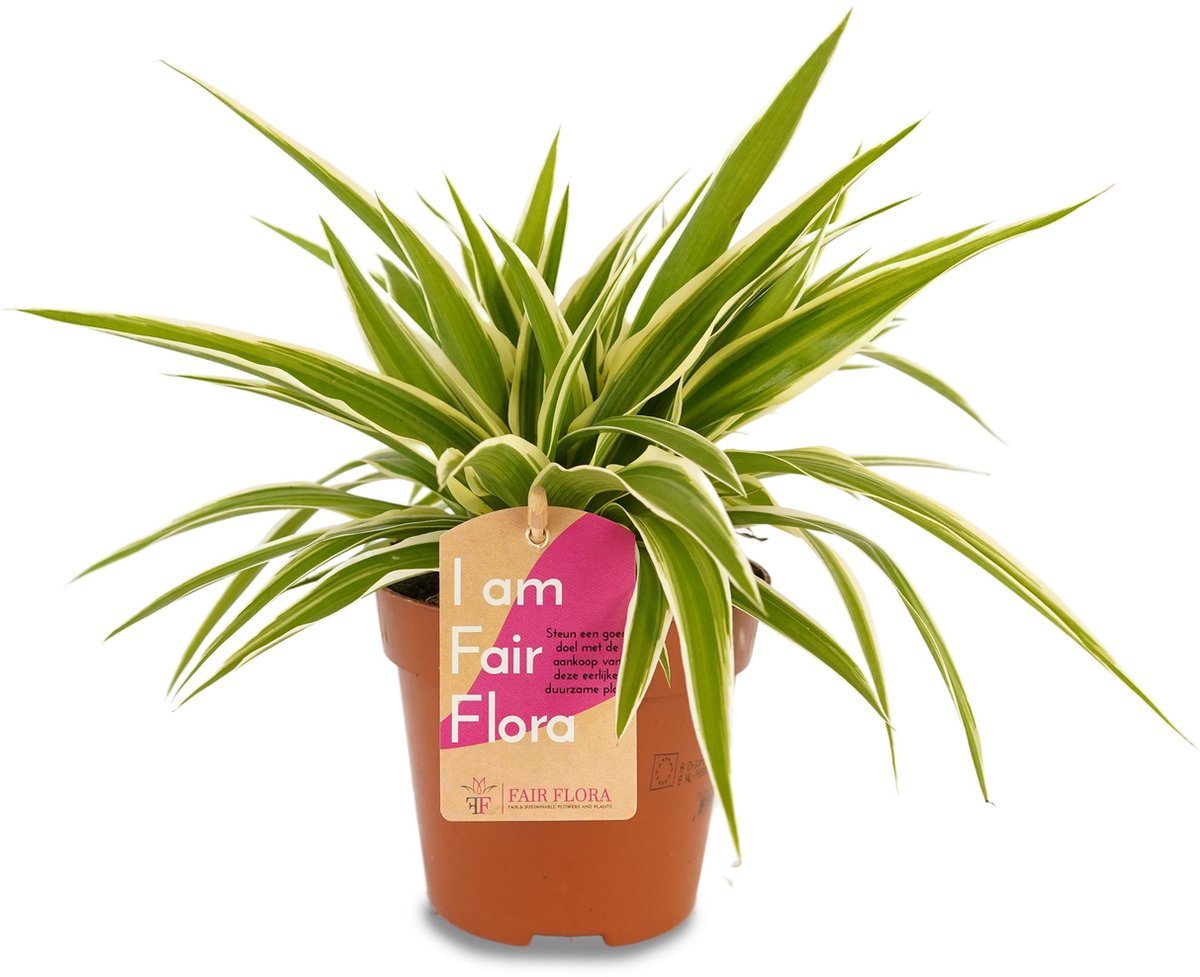 Duurzaam geproduceerde Kamerplant van FAIR FLORA® - 1 x Graslelie - Hoogte: ca. 20 cm - Latijnse naam: Chlorophytum comosum