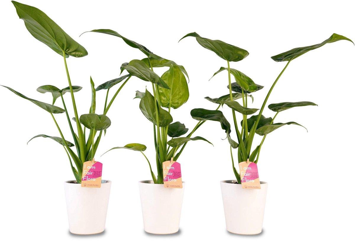 Duurzaam geproduceerde Kamerplant van FAIR FLORA® - 3 x Olifantsoor in de witte keramiek sierpot - Hoogte: ca. 40 cm - Latijnse naam: Alocasia Cucullata
