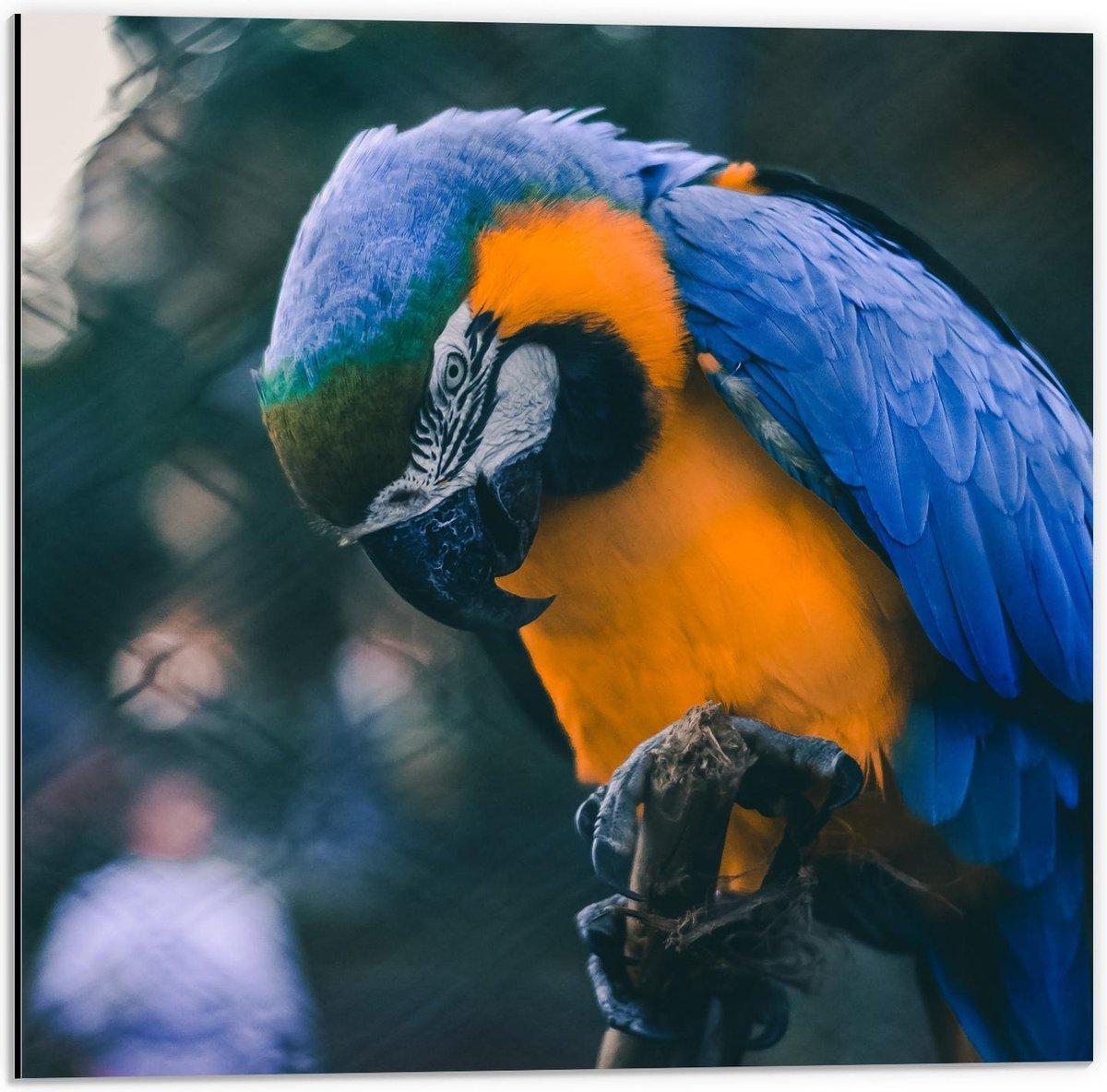 Dibond - Mooie Blauw met Gele Papagaai op Stokje  - 50x50cm Foto op Aluminium (Wanddecoratie van metaal)