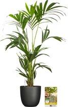 Pokon® Kentia Palm incl. watermeter en voeding - in Tusca Pot Zwart - hoogte 90 cm