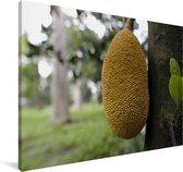 Jackfruit aan een boom in Bangladesh Canvas 30x20 cm - klein - Foto print op Canvas schilderij (Wanddecoratie woonkamer / slaapkamer)