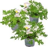 Bloomique | Geranium anti-muggen | Pelargonium per 3 stuks - Buitenplant in kwekerspot ⌀10.5 cm - Hoogte ↕20 cm