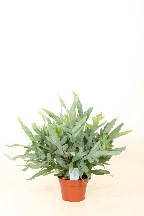 Kamerplant - 3 stuks - Phlebodium Blue Star - ↑ 50-55 cm