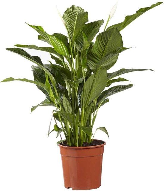 Choice of Green - Spathiphyllum Sweet Lauretta oftewel Lepelplant - luchtzuiverende kamerplant in Kwekerspot ⌀24 cm - Hoogte ↕100 cm