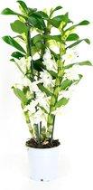 Orchidee van Botanicly – Bamboe Orchidee – Hoogte: 50 cm, 3 takken, witte bloemen – Dendrobium Nobile Apollon