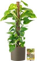 Pokon® Scindapsus Epipremnum incl. watermeter en voeding - in Mica Era Pot Groen - hoogte ↕80 cm