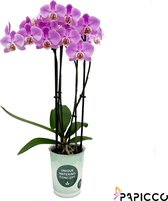 Papicco TROPICAL Flamingo - Orchidee - 4-tak - Phalaenopsis - Roze