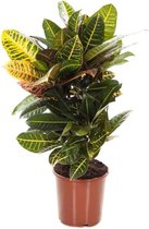 Find the perfect Croton for you on Bol.com