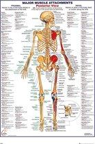 Het menselijk lichaam poster - anatomie spieren achterkant - 61 x 91.5 cm