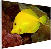 Gele Tang Glas 30x20 cm - klein - Foto print op Glas (Plexiglas wanddecoratie)