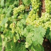 Witte druif - Vitis 'Bianca' - Zoet en Sappig - incl. Ø17cm pot