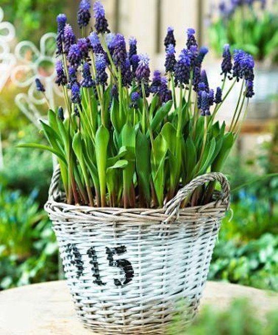 Bakker Bloembol Botanische blauwe druifjes| 25 stuks