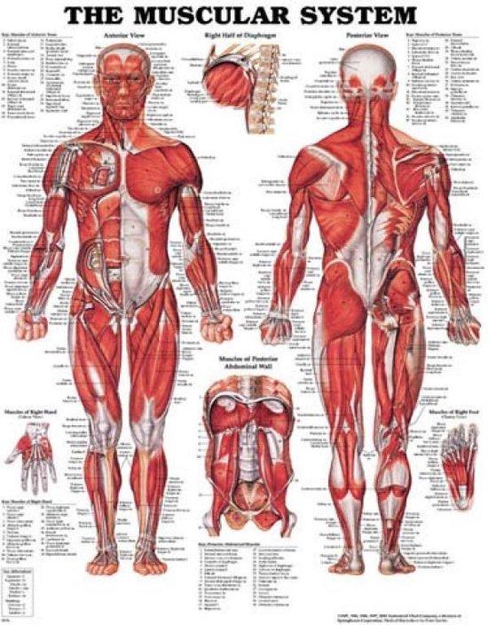 Het menselijk lichaam poster - menselijk spierstelsel - 50x66cm
