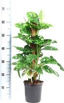 Monstera monkey leaf mosstok - 70 cm