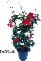 Dipladenia - 19cm - 70/80cm hoog - mandevilla - rood -  1st