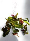 Find the perfect Maranta for you