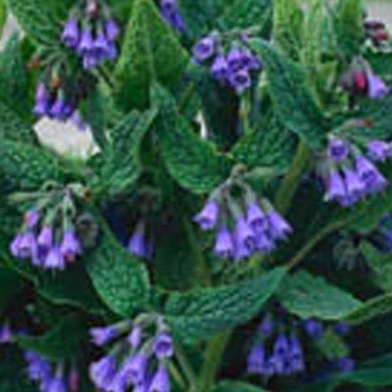 6 x Symphytum Azureum - Smeerwortel pot 9x9cm