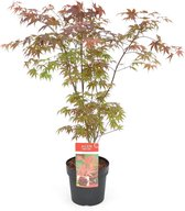 Acer palmatum 'Atropurpureum' - Japanse esdoorn - Hoogte 60/80 cm - 24cm Ø pot - Bladkleur: Donker Rood