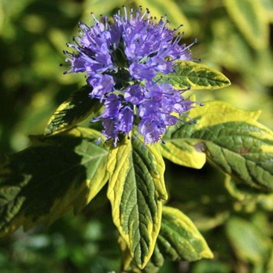 Caryopteris Clandonensis 'Summer Sorbet'® - Blauwe spirea 30-40 cm pot