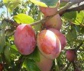 Prunus domestica 'Victoria' 3 liter pot, pruim, pruimenboom, pot gekweekt, voor tuin, moestuin, terras of balkon.