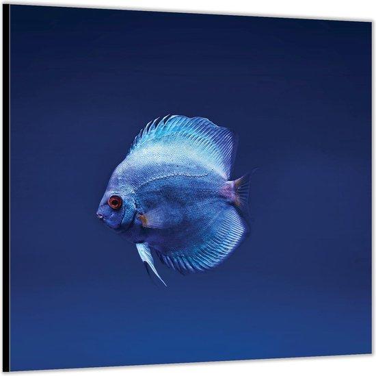Dibond –Blauwe Vis in het Water -80x80 Foto op Aluminium (Wanddecoratie van metaal)