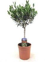 Olijfboom - Olea Europaea Ø17