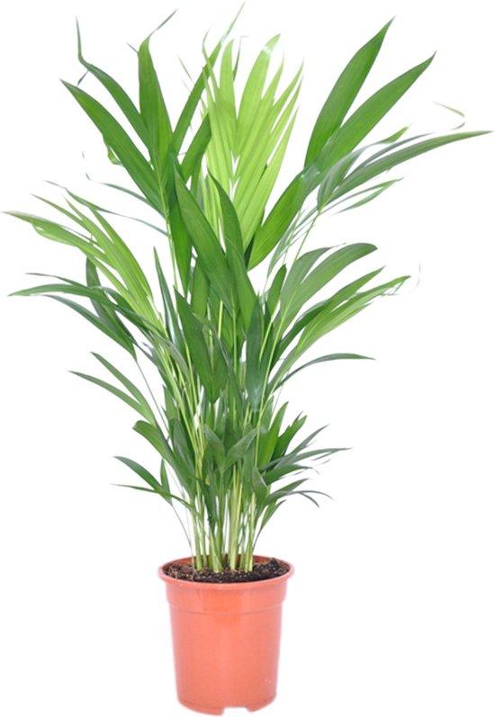Dypsis Lutescens Areca Palm - ↑ 65-75cm - Ø 17cm