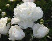 Paeonia lactiflora Duchesse de Nemours, Pioenroos wit, dubbel bloemig, gevuld bloemig, vaste plant voor tuin , terras of balkon