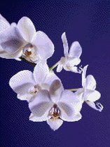 MyHobby Borduurpakket –  Wiite orchidee 30×40 cm - Aida stof 5,5 kruisjes/cm (14 count)