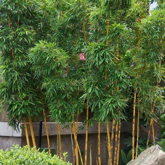 Phyllostachys 'Aurea' - Bamboe geel-groen - ↑ 100-125cm - Ø 21cm