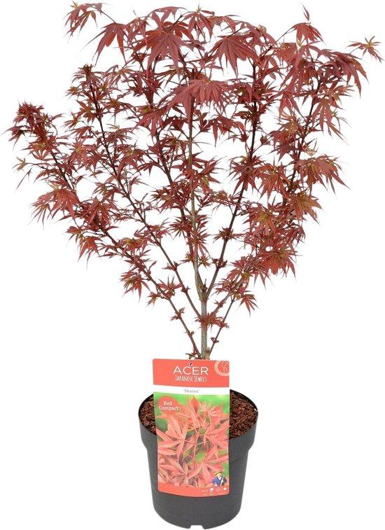 Acer Palmatum 'Shaina' - Japanse Esdoorn rood - ↑ 80-90cm - Ø 19cm