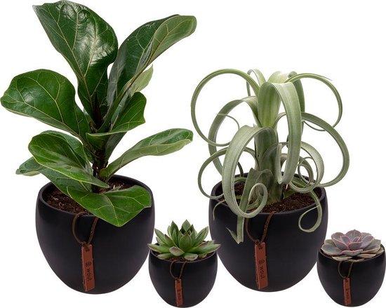 Set van 4 planten met bijpassende zwarte plantenpotten – kamerplanten voor binnen met verschillende groottes - Mapot