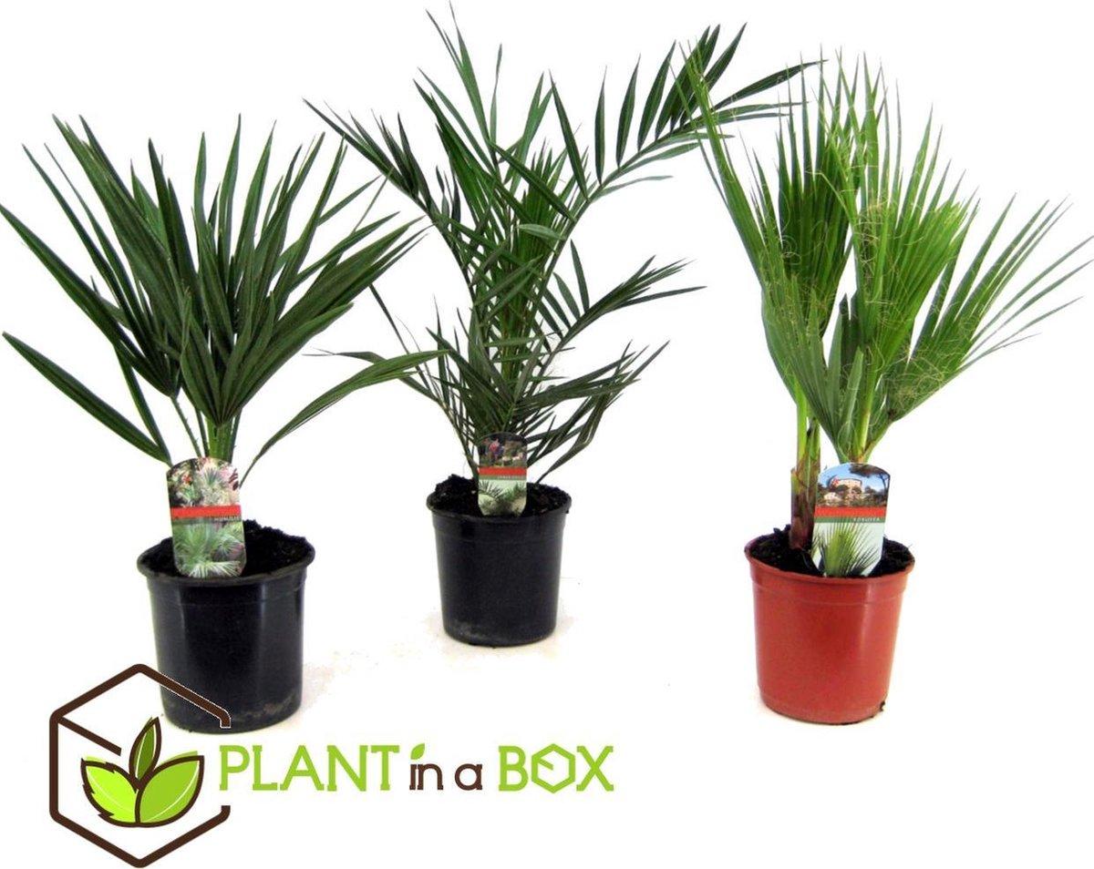 Plant in a Box - Buiten Palmbomen Mix - Set van 3 stuks - Pot  15 cm -Hoogte   50-60cm