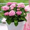 Roze, Groen