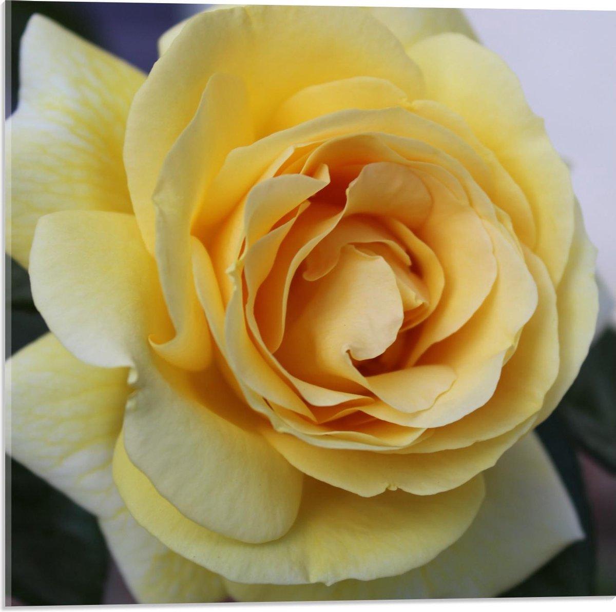 Plexiglas - Wit/Gele Roos (Close up) - 50x50cm Foto op Plexiglas (Met Ophangsysteem)