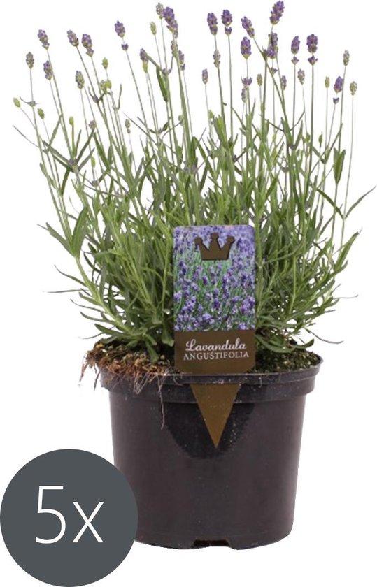 5x Lavendel Paars 'Lavandula angustifolia'- ↑20 - 30 cm (geschikt voor 1 m²)