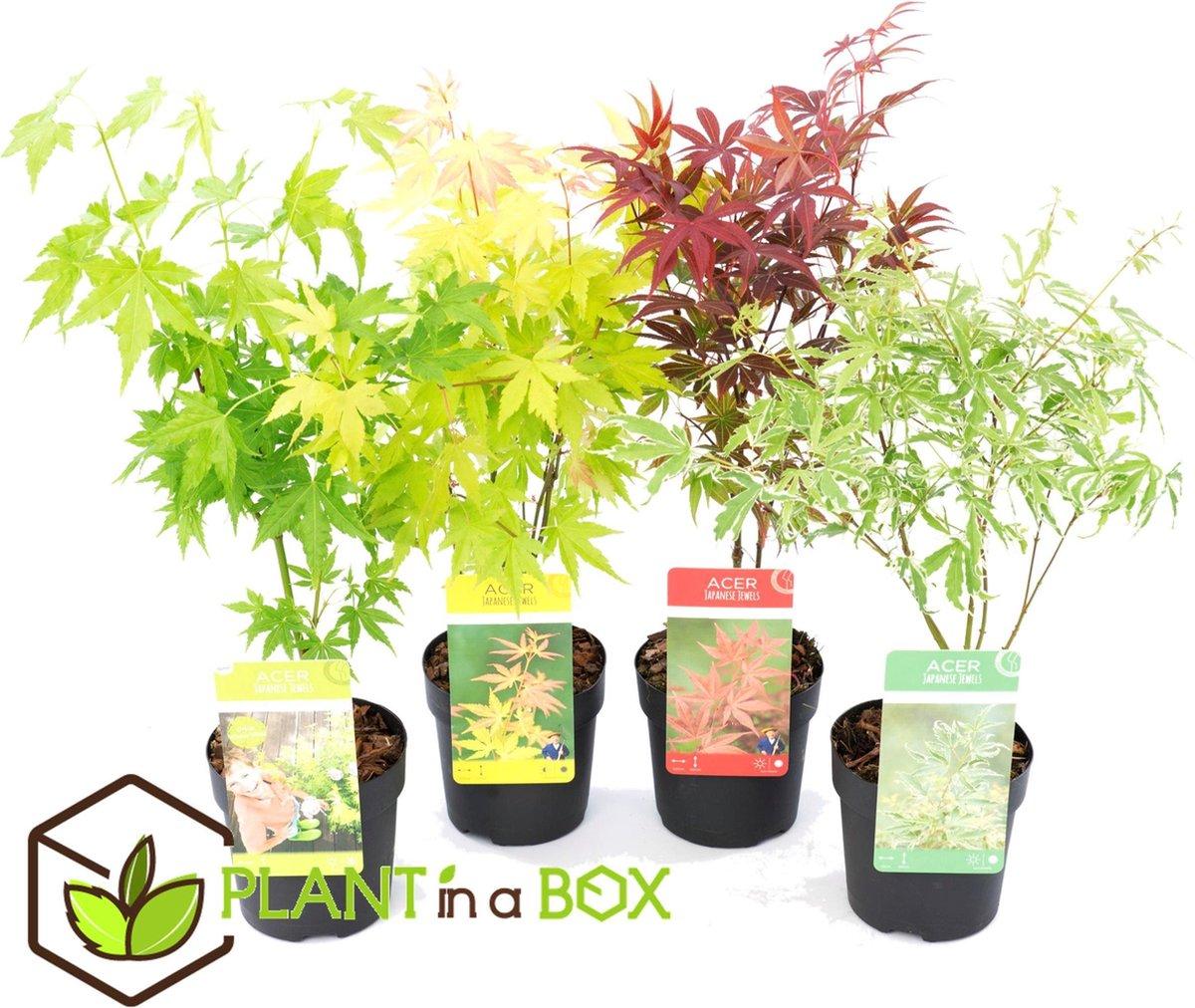 Plant in a Box - Japanse Esdoorn Mix - Acer Palmatum - Set van 4 stuks - Pot  10 cm - Hoogte   25-40