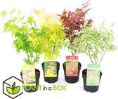 PLANT IN A BOX Japanse esdoorn mix - Acer Palmatum - Set van 4 stuks - pot ⌀10 cm - Hoogte ↕ 25 - 40 cm